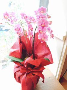 母の日胡蝶蘭