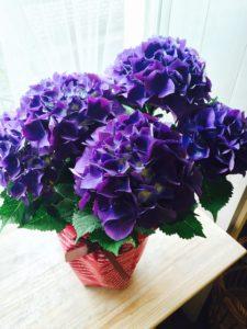 母の日花ギフト鉢花アジサイ紫
