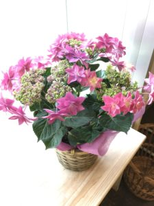 母の日花ギフト鉢花アジサイピンク