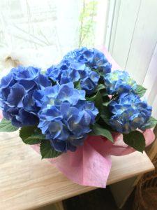 母の日花ギフト鉢花アジサイブルー