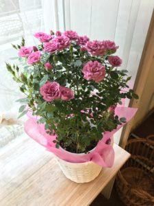 母の日花ギフト鉢花バラ