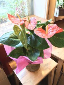 母の日花ギフト鉢花アンスリウム
