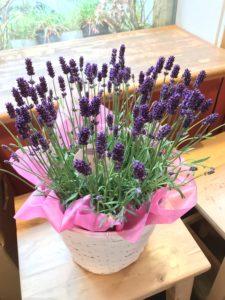 母の日花ギフト鉢花ラベンダー