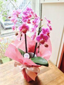 ミニ胡蝶蘭ピンク
