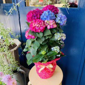 鉢花 紫陽花